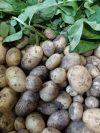 Pommes de terre nouvelles Des Gastines | 1kg